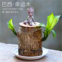 沁苑 巴西木水培植物 直径6厘米(巴西木+塑料托盘+格鲁特)