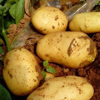 新鲜农家大小土豆5/9斤蔬菜精品黄心马铃薯多规格单果50-600g 2020年 5斤小号土豆