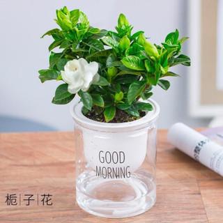 FOLOMODO 栀子花盆栽+吸水透明盆