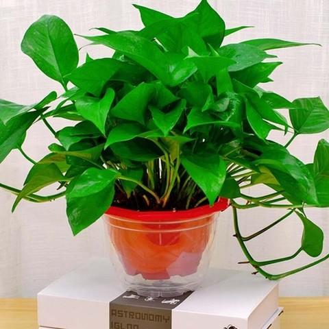 移动专享:柚琳 绿萝盆栽 4盆装+2肥