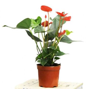 CHANSUNRUN虔生缘  花卉盆栽红掌  原盆+肥料1包