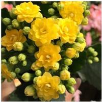 移动专享:YOULING 柚琳 长寿花苗盆栽 加仑盆黄色 含盆