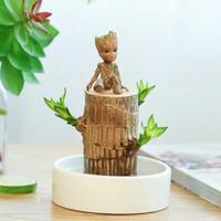 致荟树 巴西木水培植物 直径6cm(巴西木+暖白盆+格鲁特)