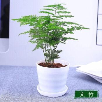 侈放 室内绿植物盆栽(文竹3盆)