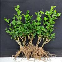 移动专享:AISIDUN 爱思顿 茉莉花盆栽 中盆2-3茉莉花