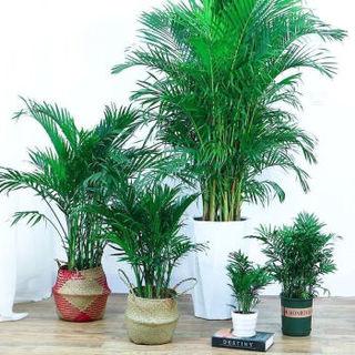 SIBAOLU 斯宝路 散尾葵凤尾竹盆栽 含白色螺纹盆 5颗