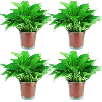 绿萝盆栽植物120#吸水绿萝4盆装(限时)