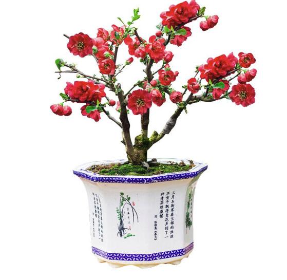 御卉阁 6年长寿冠海棠盆栽 不含盆