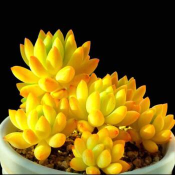 轩林美 多肉植物盆栽 黄美人(单头3-5cm)