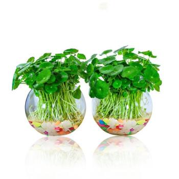 铜钱草室内盆栽 玻璃瓶2个+100根芽+彩石+肥料