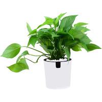 锦丹 桌面小绿植盆栽 绿萝