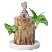 移动专享:御卉阁 巴西木幸运木 巴西木(6cm)+陶瓷盆+格鲁特