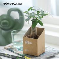 Flowerplus花加土培小铁树金钱树绿植招财寓意桌面摆件盆栽