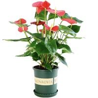 移动专享:诗樱 红掌盆栽 带花苞
