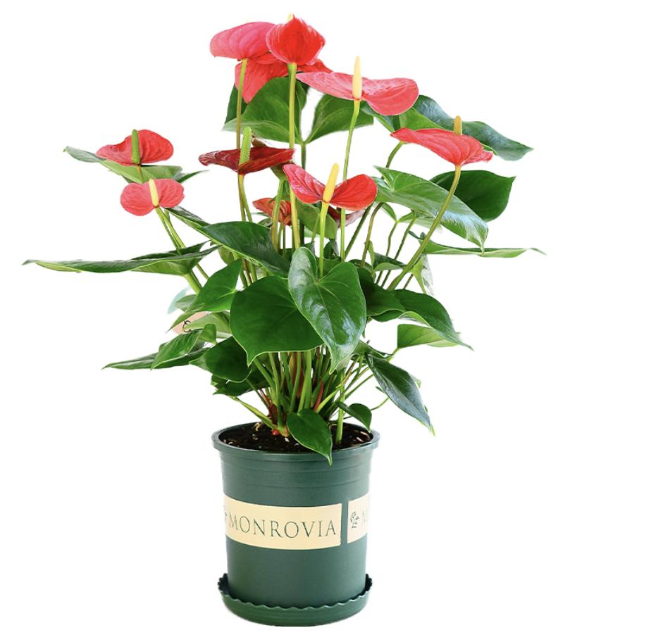 诗樱 红掌盆栽 带花苞