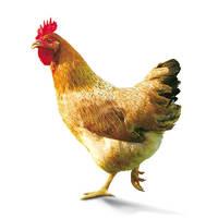 WENS 温氏 天露 农养鸡 800g