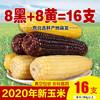 东北玉米 非转基因黑黏甜糯香玉米棒 真空装苞米  8黑8黄16棒
