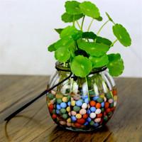 若綠 盆栽套裝 銅錢草+吊環南瓜瓶