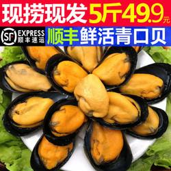 星渔鲜活特大青口贝新鲜大海虹淡菜野生贻贝类水产3斤5斤顺丰包邮