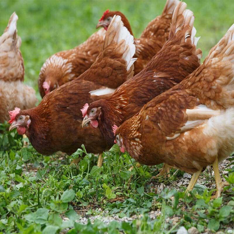 呈祥 农家林间散养走地鸡  约600g-700g *3件