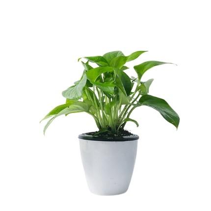 茵琦纱 水培绿植盆栽 绿箩