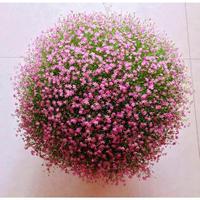 春枝晓 满天星盆栽花种子 500粒 送盆土肥