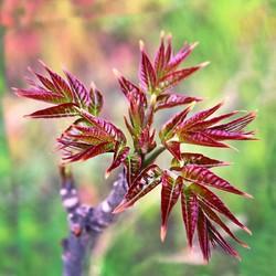 香椿芽新鲜500g香春菜春芽菜野生头茬红香椿头红油香椿叶蔬菜野菜