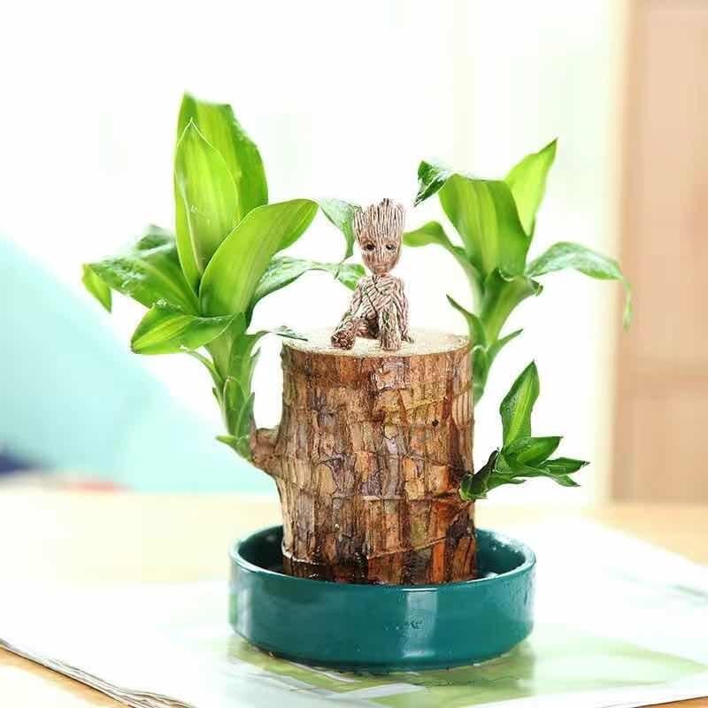 沁苑 巴西木水培植物 直径5cm(巴西木+绿瓷盆+格鲁特+专用液)