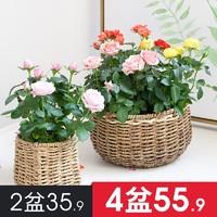 虹越花卉植物室內花庭院陽臺植物玫瑰花盆栽易活帶花月季四季好養 *9件