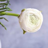 春天到家 鲜切花 花毛茛   8支+1-2支防损 白色