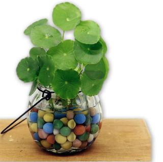 若绿 盆栽套装 铜钱草+吊环南瓜瓶