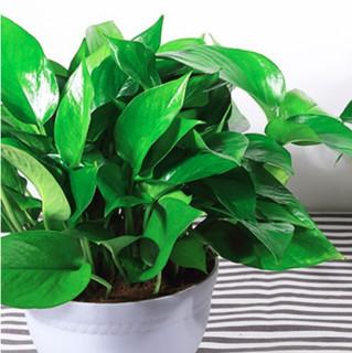 艺芯园 盆栽套装 红色加厚盆绿萝+储水盆