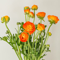 春天到家 洋牡丹 8支+1-2支防损多色可选 橙色