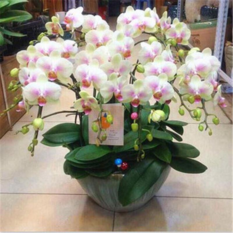 花無痕 蝴蝶蘭花苗 四季植物 室內客廳盆栽綠植 當年開花 室內綠植盆栽 歡笑
