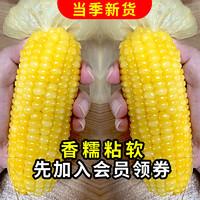 东北农嫂玉米 糯玉米棒新鲜粘玉米真空 东北黏玉米 微波即食 早餐生鲜 黄糯玉米8袋