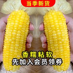 Northeast Peasant Madame 东北农嫂 东北黏玉米 黄糯4支+花糯4支组合款