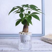 艺藤 自动吸水桌面盆栽 发财树(透明盆)