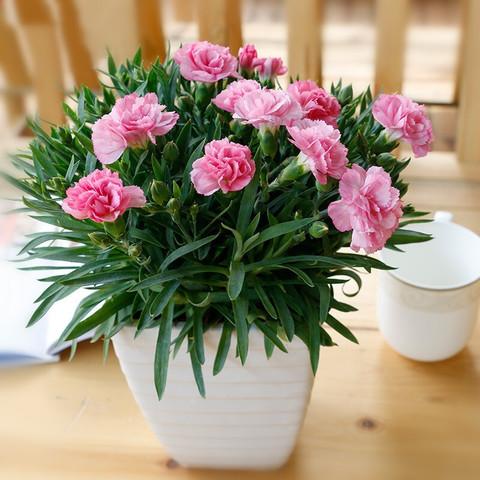 致荟树 康乃馨种子 100粒 送花盆+土