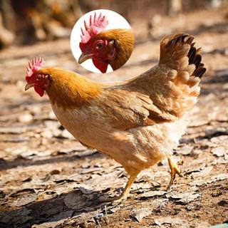 对面小城 农家散养土鸡 750g*4只