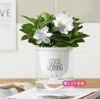 拼乐趣 栀子花 带自动吸水盆