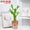 绿航绿萝室内办公桌面盆栽发财树富贵竹栀子花绿色植物绿植花卉 90富贵竹金属棕盆