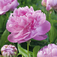 春天到家 重瓣芍药花 8支+2支防损 +单瓣芍药10支
