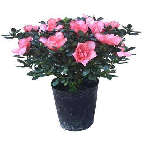 花无痕  杜鹃花盆栽 杜鹃花苗 花卉绿植 室内植物办公室盆景 粉色杜鹃3年苗含简易花盆
