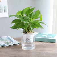 简雪 绿萝盆栽 带自动吸水盆
