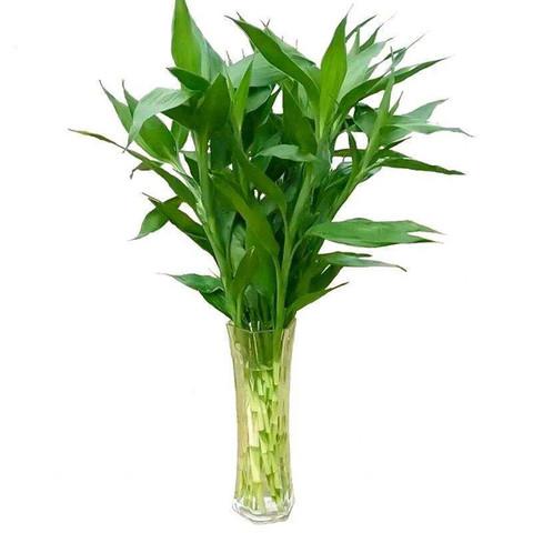 香昔庄园 富贵竹水培植物室内净化空气好养