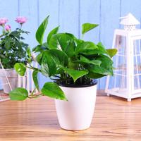 ShijiAoqiao 世纪奥桥 绿植盆栽 绿萝+自动吸水花盆