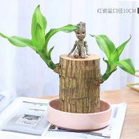 移动端:沁苑 巴西木植物小盆栽+粉瓷盆+格鲁特+液 6cm左右