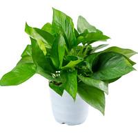 鲜菲淳 绿萝盆栽 15棵+白色螺纹盆