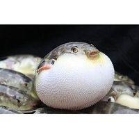 ZHONGYANG FISH WORLD 中洋鱼天下 河豚鱼 150-200g