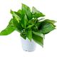 白菜免单周:鲜菲淳 绿萝盆栽 15棵+白色螺纹盆 4.29元包邮(需用券)